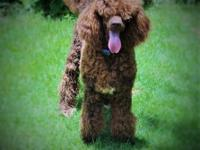 One year old Chocolate Standard Poodle. He is about 55
