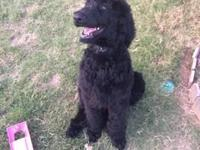 I have a black standard poodle available for sale. He