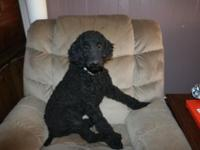 I have a beautiful male standard poodle pup who needs a