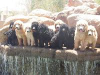 AKC Standard Poodle Puppies Available Born 4.12.2012 3