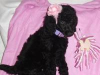 Beautiful Standard Poodle Puppy?s!!. They are AKC