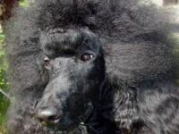 AKC Reg Standard Poodle Beautiful young adult (20