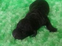I have one AKC lady Black basic poodle, she is second