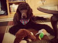 Male AKC chocolate/brown Standard Poodle 11 months.
