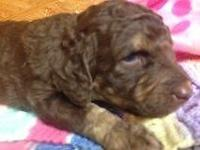 AKC PHANTOM GIRL, BORN 10-22-14 WILL BE READY AROUND