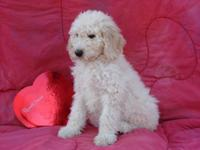 Last one! AKC Cream (extremely light) female Standard