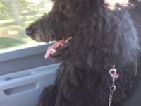 We have a gorgeous black standard poodle, she was born