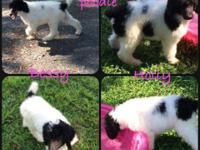 AKC Standard Parti Poodles. Born on March 14, 2015.