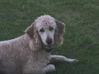 AKC Standard Poodle male. His color is Cafe' Au Lait.