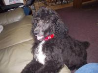 THE LAST ONE !!!!! This sweet standard poodle boy is