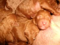 AKC RED STANDARD POODLE BABIES,BORN 9-5-14 TAIL AND DU