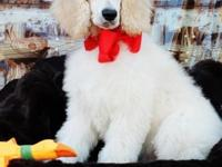 AKC male basic poodle 13 week old baby prepared for his