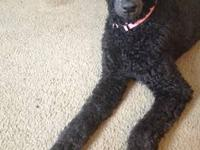 1 year old female Standard Poodle. Coat color blue