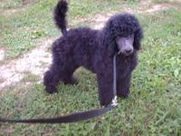 Standard poodle pups-can be AKC-one is silver and one