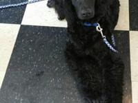 Gus is a big, sweet natured boy that is black in color.