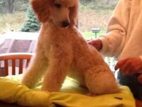 AKC Standard Poodle dog,12 weeks old.Create trained,