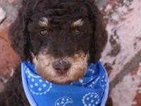 AKC standard poodle puppies. 4 very handsome males and