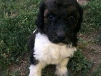 Adorable Standard Poodle young puppies are all set for