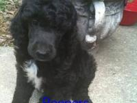 AKC Standard Poodle Puppies. Born 4/28/12 will be 8