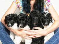 AKC litter born 1/24/13! Black and White parti babies,