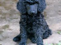 These lovely basic poodle young puppies are AKC reg.