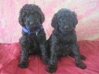 We have beautiful, healthy AKC standard poodle puppies