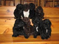 I have a beautiful litter of AKC registered Standard