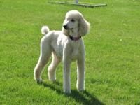 Three male AKC standard poodle puppies still need their