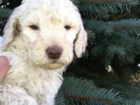 AKC Standard Poodle puppies. Born Oct 20th. Puppies are
