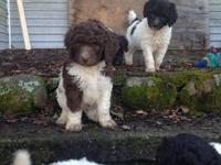 Adorable standard poodle puppies. Parti-colored both