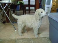 Registered standard poodle puppies born Nov 24th.
