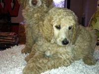 AKC Standard Poodle Puppies: As of January 1st they are