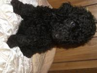 I have for sale 6 gorgeous,standard poodle pup's,4