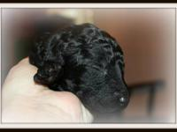 Bella our wonderful black standard poodle delivered a