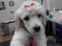 10-week-old AKC Standard Poodle Puppies ready to go