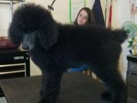 Beautiful Standard Poodle puppies. These pups are very