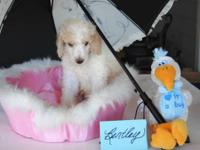 Oodles of Quality Standard Poodle Puppies. Champion