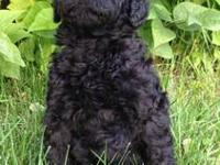 READY TO GO NOW!! AKC Standard Poodle puppies for sale!