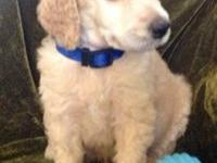 Beautiful cream, apricot and red Standard Poodle