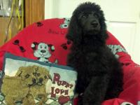 Handsome Blue AKC male standard poodle from AKC