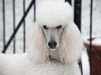 I am planning for black and white standard poodle