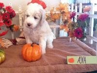 Several Standard Poodle Puppies available. Moms and