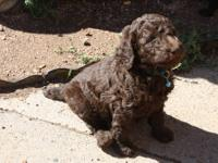AKC STANDARD POODLE PUPPIES,2 CHOCOLATE FEMALES LEFT