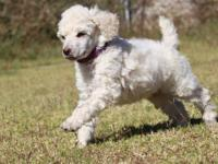 AKC Registered Standard Poodle Puppies Born Sept 23,
