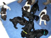 4 WEEKS OLD.....Litter of 8 AKC Registered Standard