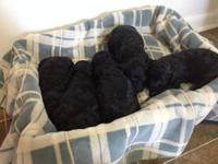 We have 5 Beautiful Standard Poodle Puppies for sale.