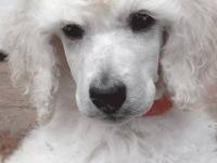 Standard Poodle puppies. AKC registered. Limited, spay