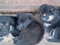 3 boys available jet black, Bella is AKC Cafe Latte 23""