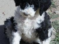 AKC REQUIREMENT PARTI POODLE PUPPIES READY NOW