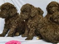 Hello there we have 7 AKC common poodle puppies where
